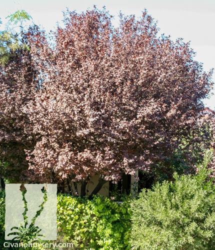 Prunus Cerasifera Purple Leaf Plum Purple Leaf Plum – P...