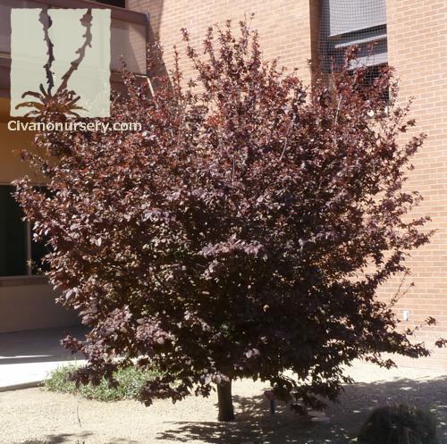 Purple Leaf Plum Prunus Cerasifera Krauter Vesuvius Civano
