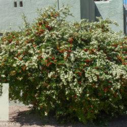 Pyracantha crenatoserrata 'Graberi'