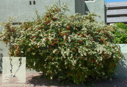 White Flowering Trees