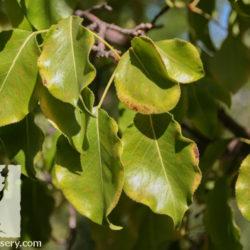 Pyrus calleryana
