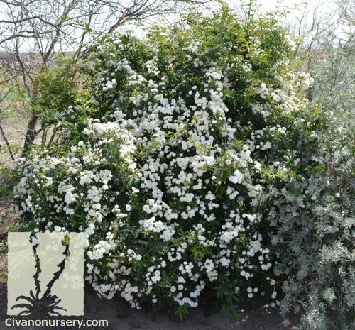 White Lady Banks Rose Rosa Banksiae Alba Plena