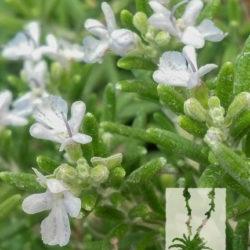 Rosmarinus officinalis 'Prostrata'