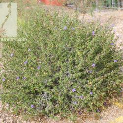 Ruellia peninsularis
