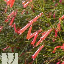 russelia equisetiformis