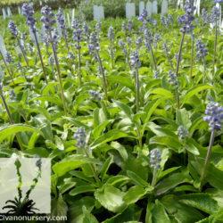 Salvia farinacea 'Sallyfun Blue'