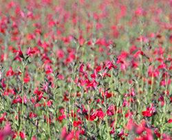 Salvia x greggii 'Red Velvet'