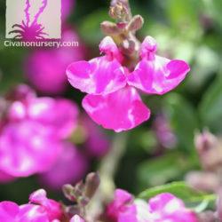 Salvia x greggii 'Sparkle'