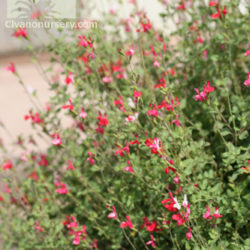 Salvia 'Hot Lips'