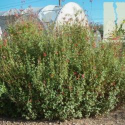 Salvia x microphylla 'Hot Lips'