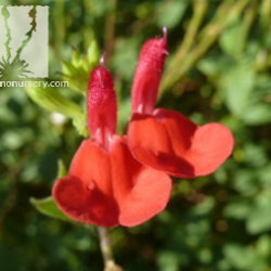 Salvia x microphylla 'Hot Lips'