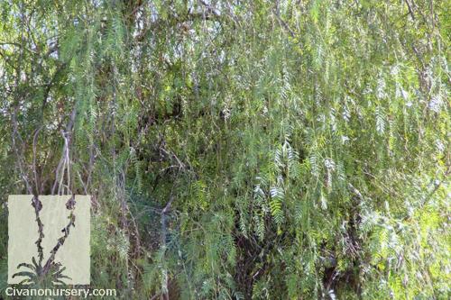 California Pepper Schinus Molle Civano Nursery