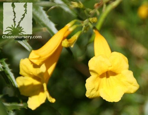 Yellow Bells Tecoma Stans Var Angustata Civano Nursery