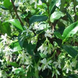 Trachelospermum jasminioides