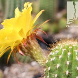 Trichocereus hybrid