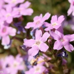 Glandularia gooddingii