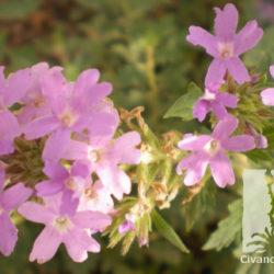 Verbena gooddingii