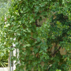 Vitis vinifera 'Thompson Seedless'