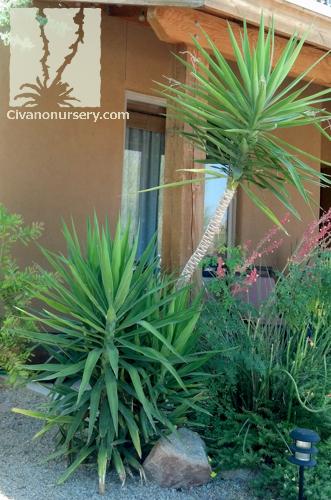 Spanish Dagger Yucca Gloriosa Civano Nursery