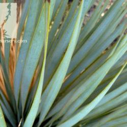 Yucca thompsonii