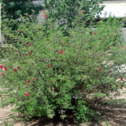 Calliandra californica