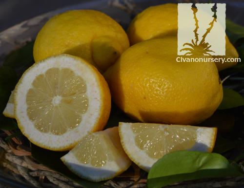Lisbon Lemon Citrus Lemon Lisbon Standard Civano Nursery