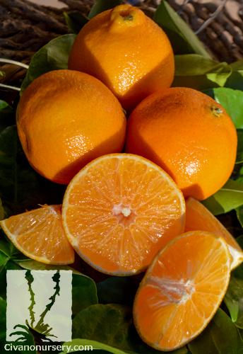 Clementine Mandarin Citrus Mandarin Clementine Standard