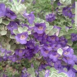 Leucophyllum pruinosum