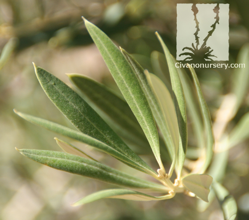 fruitless olive olea europaea fruitless variety civano nursery. Black Bedroom Furniture Sets. Home Design Ideas