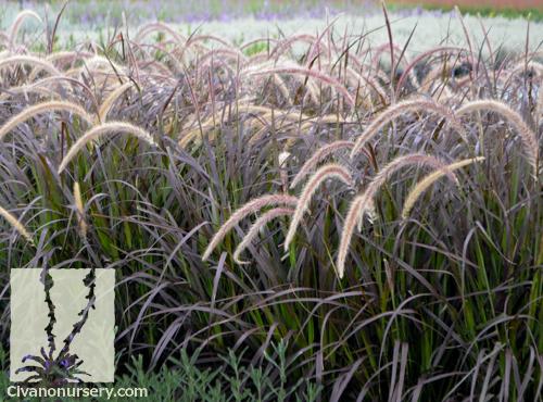Purple fountain grass pennisetum setaceum cupreum for Fountain grass varieties