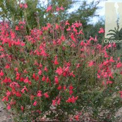 Salvia x greggii 'Ruby Slippers'