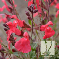 Salvia x greggii 'Ruby Slippers'