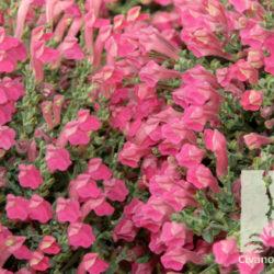 Scutellaria suffrutescens