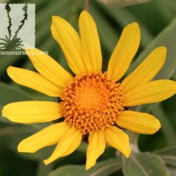 Tithonia fruticosa 'Goldylocks'