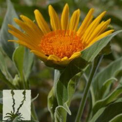 Tithonia fruticosa