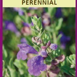 scutellaria violet cloud
